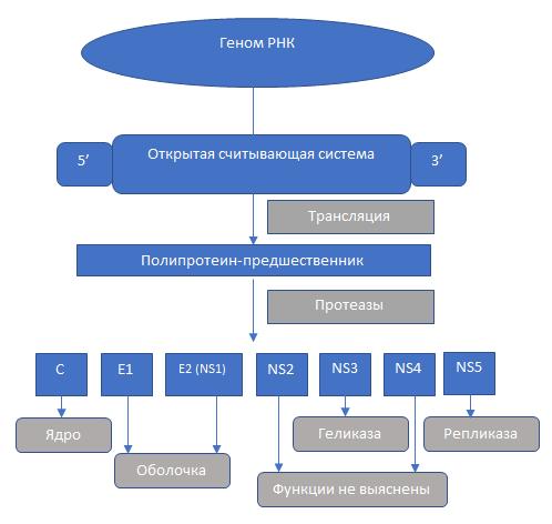 Жизненный цикл вируса (схема)