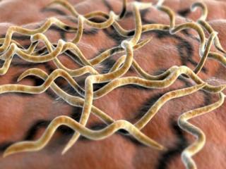 Сифилис под микроскопом